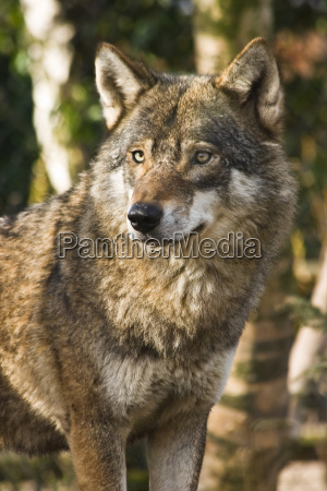 grey wolf between birch trees