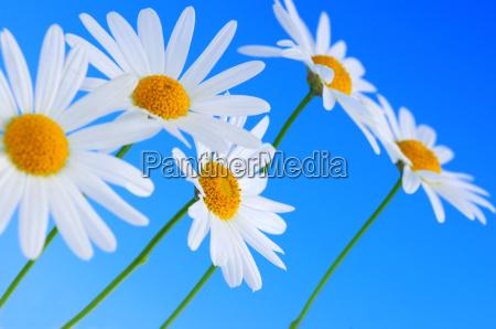 flores de daisy sobre fondo azul