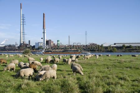 pasto de ovejas