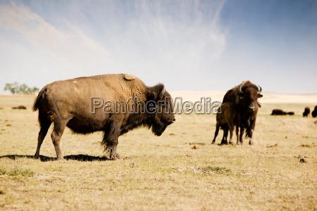 enorme americano animal mamifero turismo toro