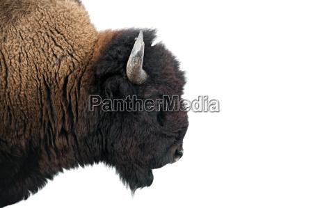 american bison en el parque nacional