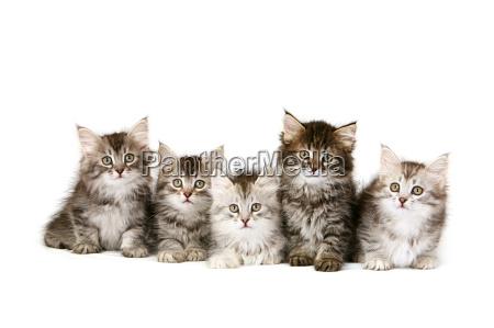 gatitos siberianos en una fila