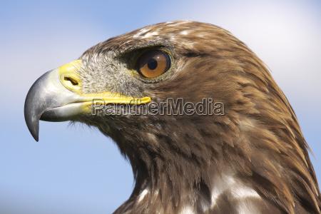 pajaro retrato aves ave de rapinya