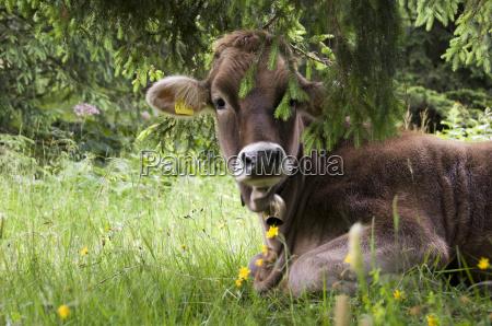 mentira vaca bovino ternero prado sombra