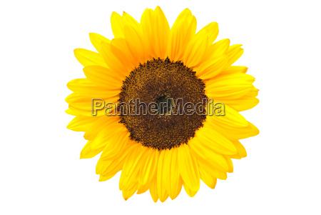 flor planta girasol amarillo naturaleza