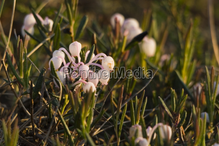 rosmarinheide andromeda polifolia