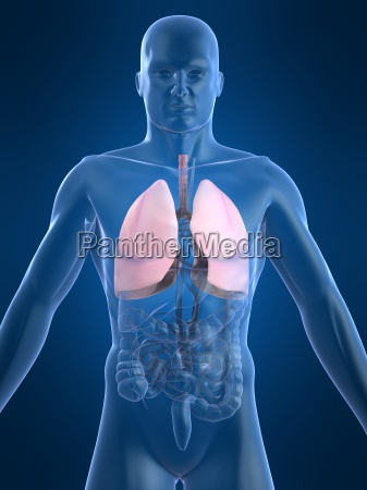 human anatomy with lung
