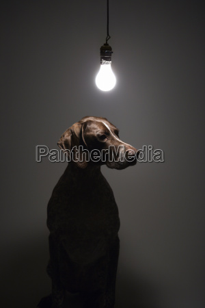 perro bajo bombilla