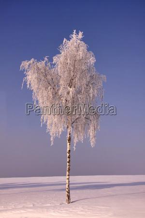 arbol invierno escarcha abedul cielo nieve