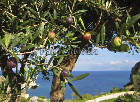 olivo en sicilia