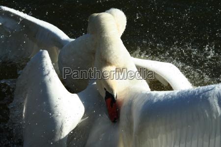 cisnes en la lucha
