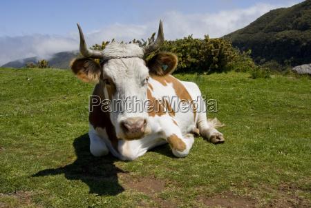 leche vaca ganado bovino vacas prado