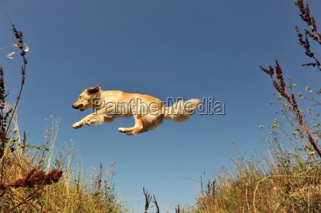 perro saltos saltar salto dorado oro