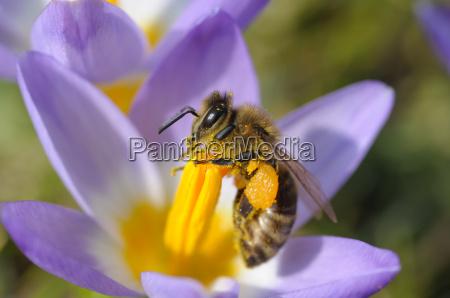 abeja en azafran