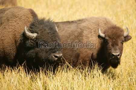 parque animal fauna estado bisonte apacentar