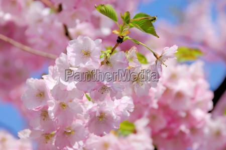 los cerezos en flor rosa