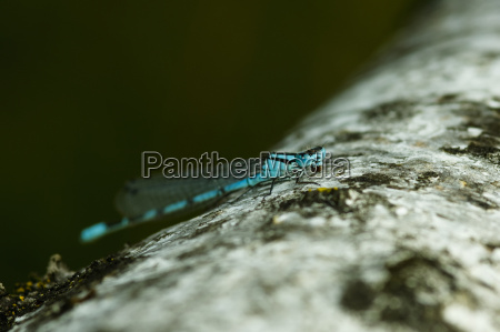 azurjungfer dragonfly while eating coenagrion