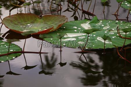 hoja loto de agua dulce lago