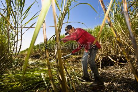 granjero cosechando canyas de azucar en