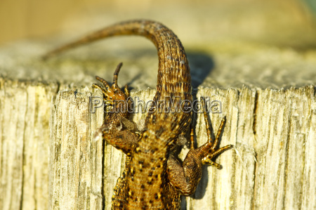 mountain lizard tail zootoca vivipara
