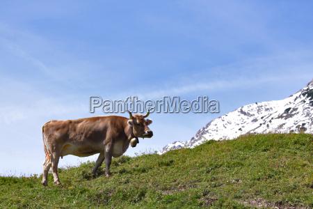 montanyas alpes vaca jugoso prado cielo