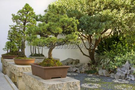 arbol arboles jardin pino chino en