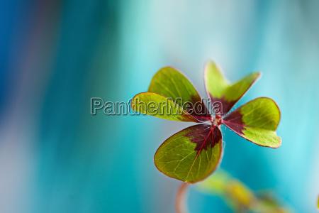 hoja de trebol de cuatro hojas