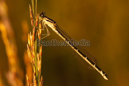 common blue damselfly enallagma cyathigerum