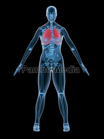 female anatomy lung