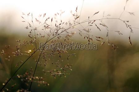 flowering grass in evening light