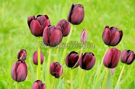 tulip purpura tulipan purpura 02