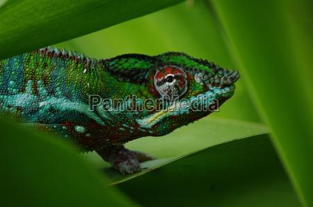 reptil retrato arbusto madagascar rojo cabeza