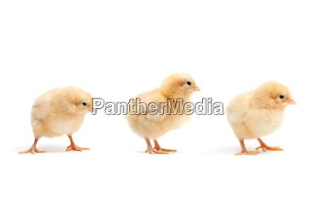 lindo bebe pollos polluelos en blanco