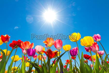 tulipanes en el sol