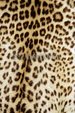 fondo de la piel de leopardo