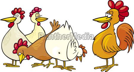 gallo y gallinas