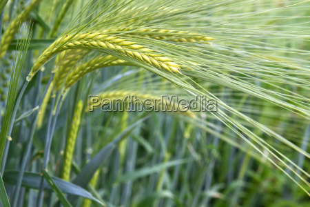 barley field hordeum in bavaria