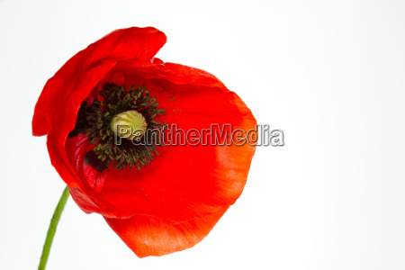 blooming poppy papaver rhoeas