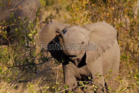 bebe elefante africano