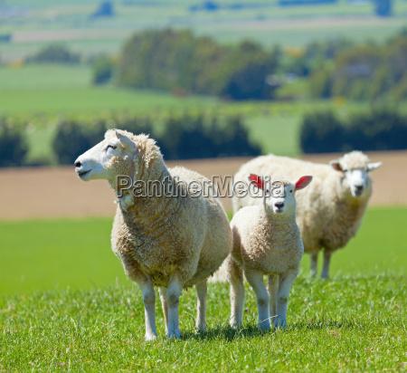 ovejas en la granja