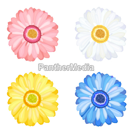 daisy gerbera flowers