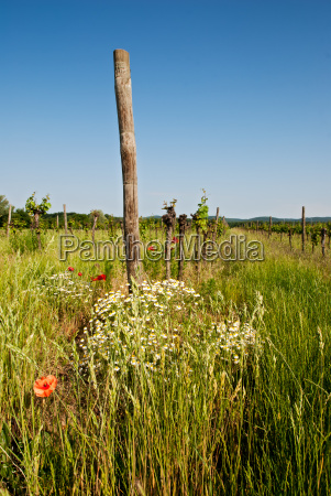 vineyard with grass