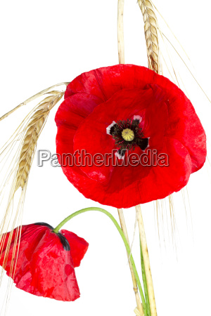blooming poppies papaver rhoeas with barley