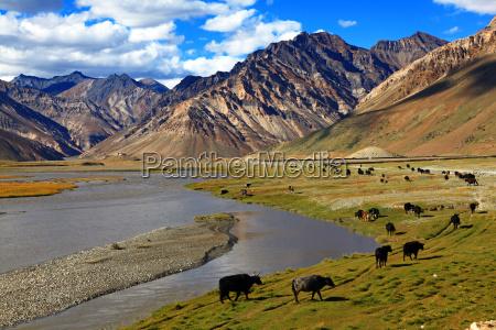 cattlezanskar valleyindia