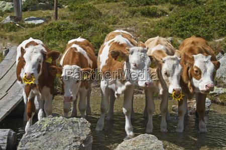 agricultura vaca ganado terneros amigos