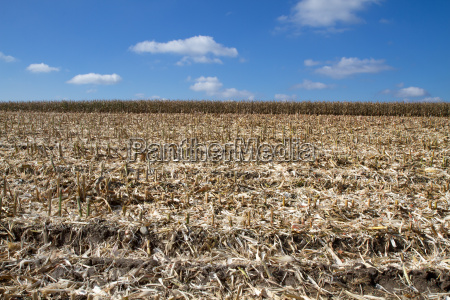 corn field after harvesting