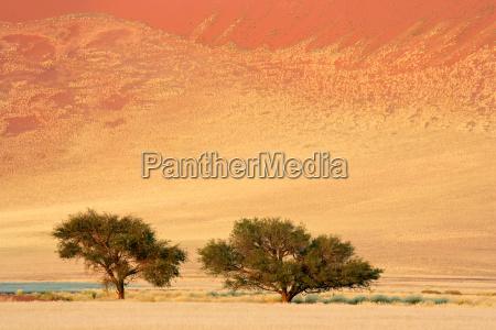 arbol namibia duna acacia prado hierba