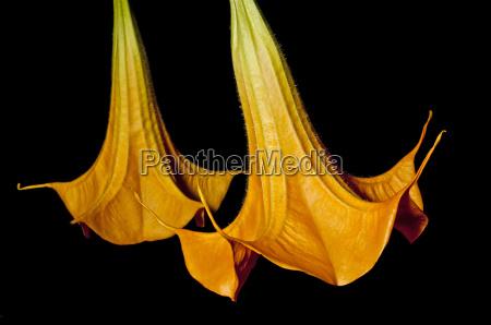 flor droga mistico alucinogeno amarillo