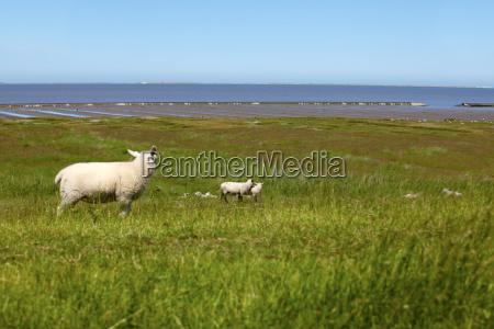 unas ovejas en un dique en