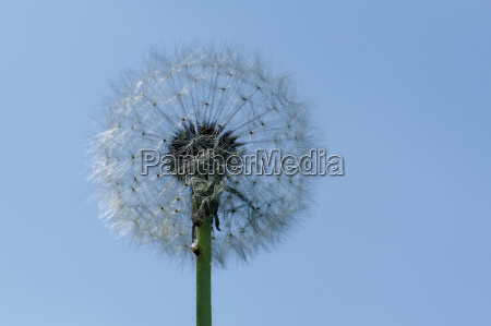 pusteblume with fly